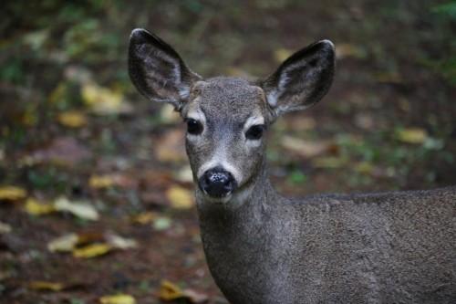 MSR Deer
